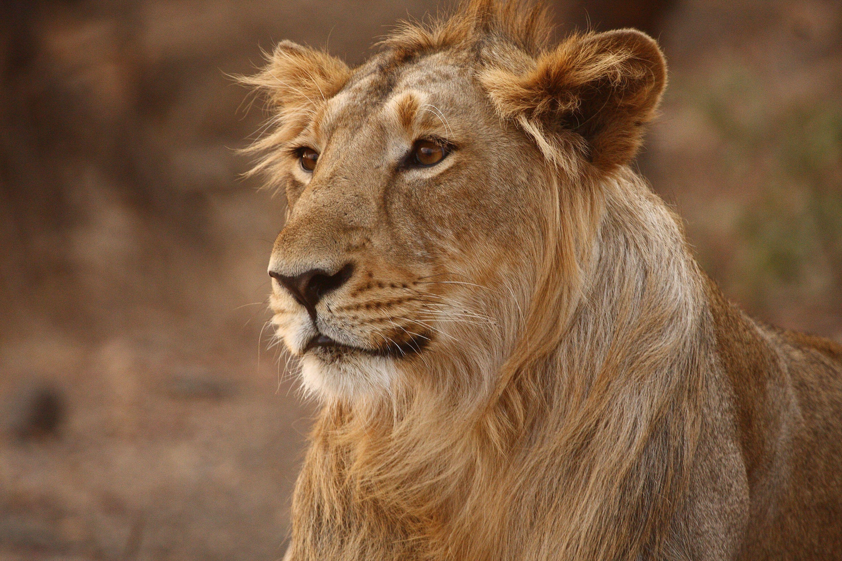 African Lion Facts Habitatt Behavior