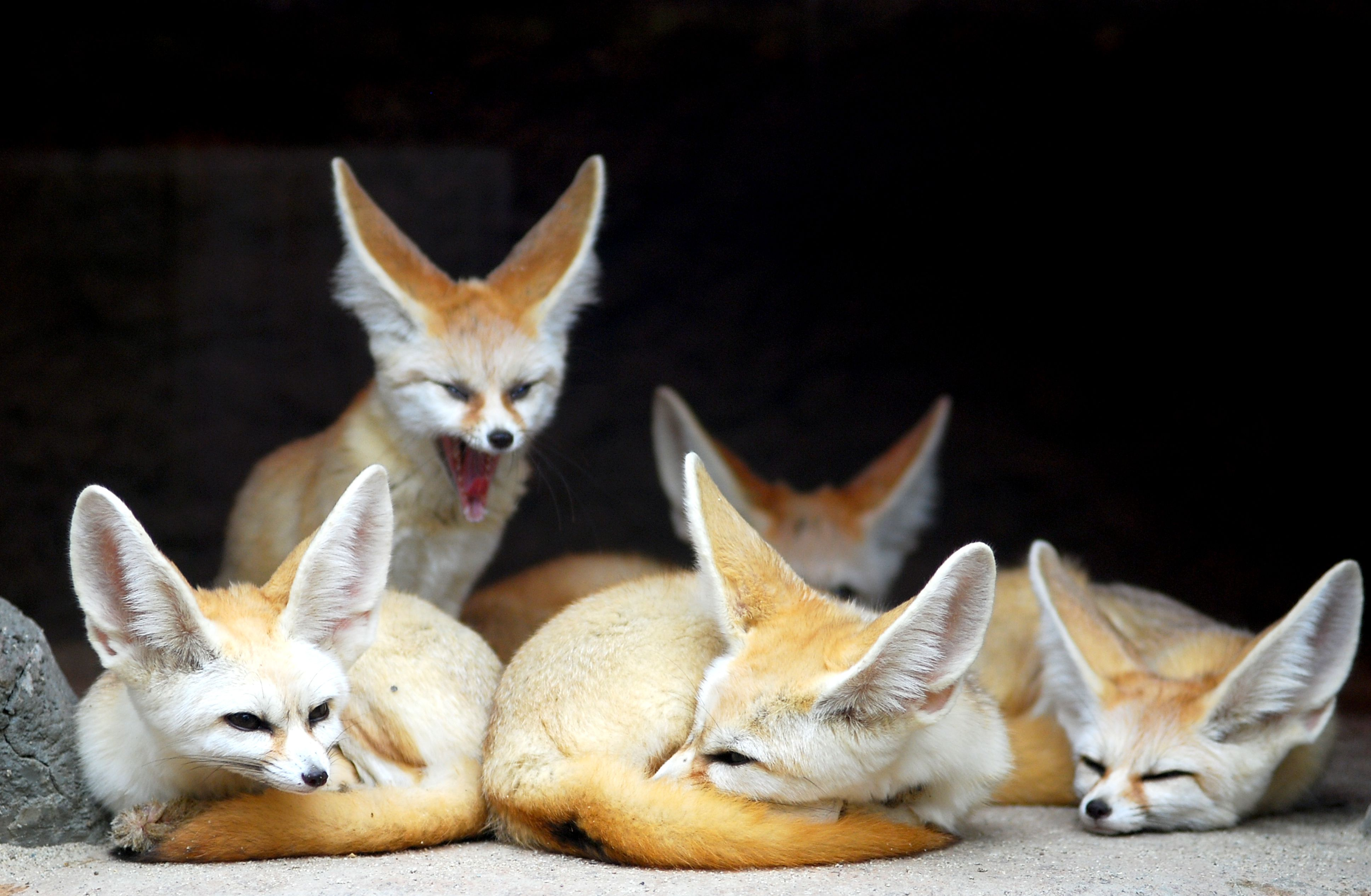 Fennec Fox Facts Vulpes Zerda