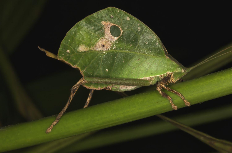 Animals That Mimic Leaves