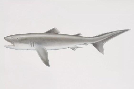 Ilustração de tubarão Megamouth