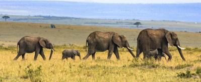 Elephants Being Led