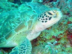 Turtle in Zanzibar Waters