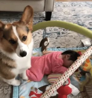 Cute corgis of Instagram