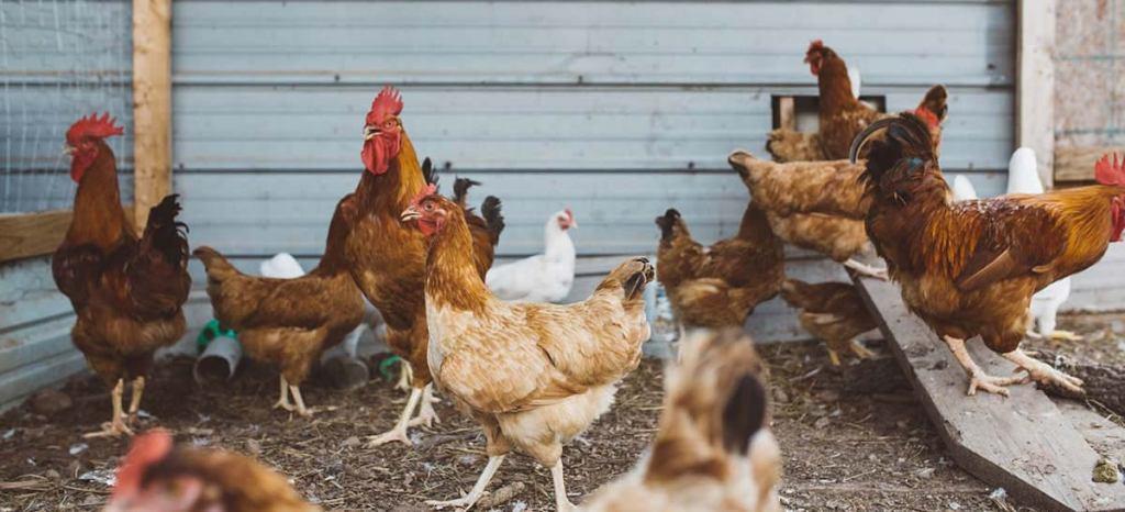 Three Forks Farm - Bobcaygeon, , Kawartha Lakes - pasture raised free range heritage pork, turkey and artisanal chicken, delivery to Kawartha Lakes, Peterborough, Durham and Toronto