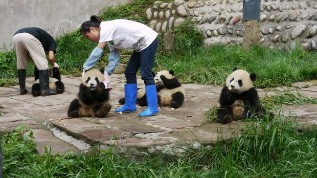 Volunteering at panda centres of Dujiangyan
