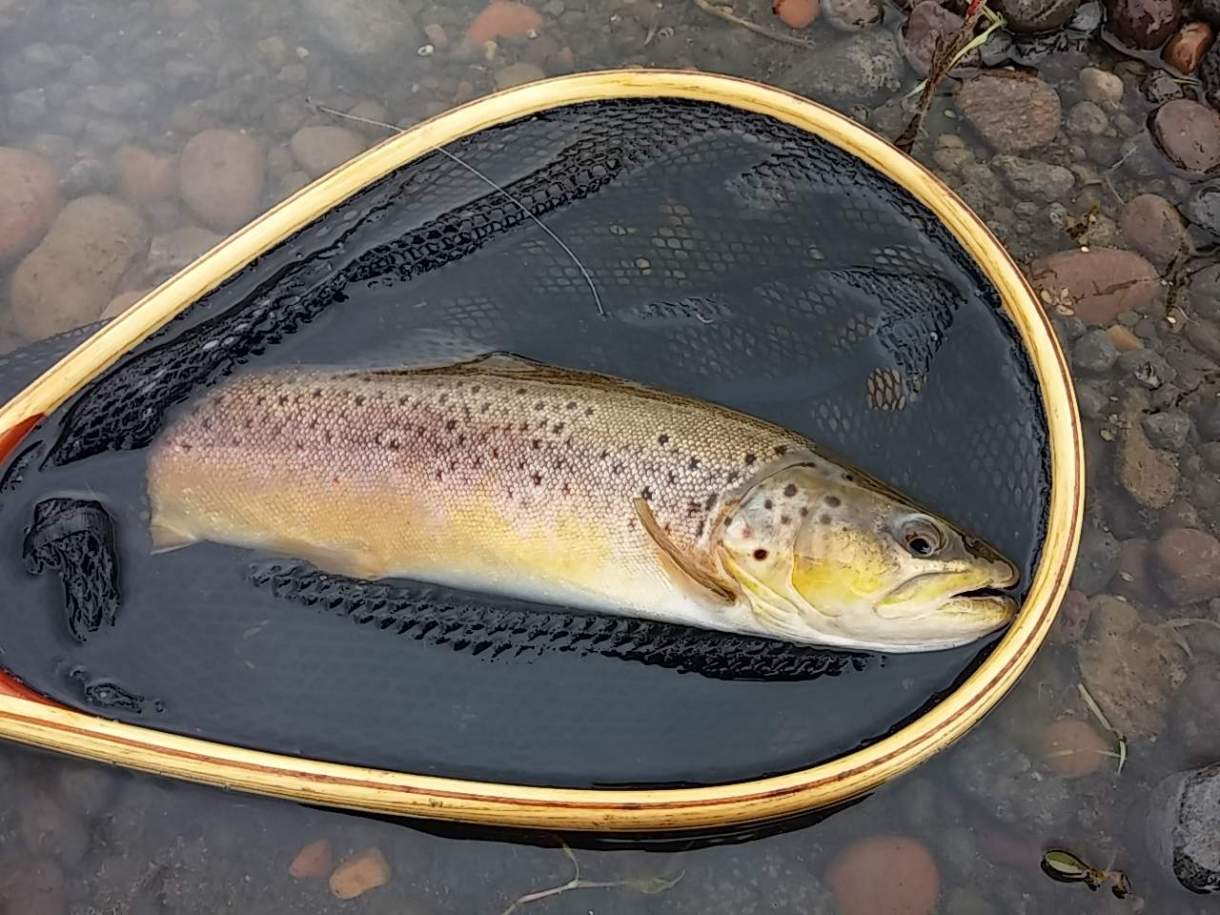Photo of Brown Trout in net.