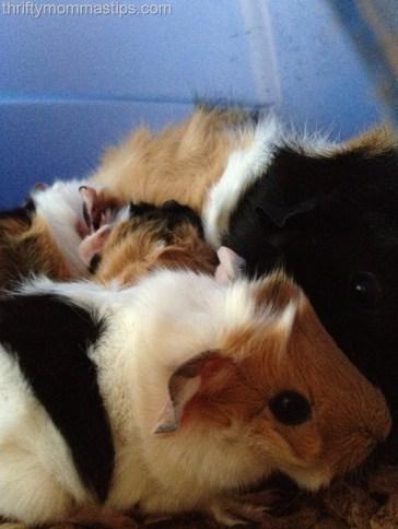 NEW Guinea pigs 033
