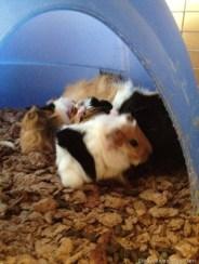 NEW Guinea pigs 034