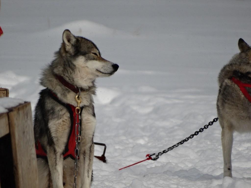 dog_sledding_near_mont_tremblant