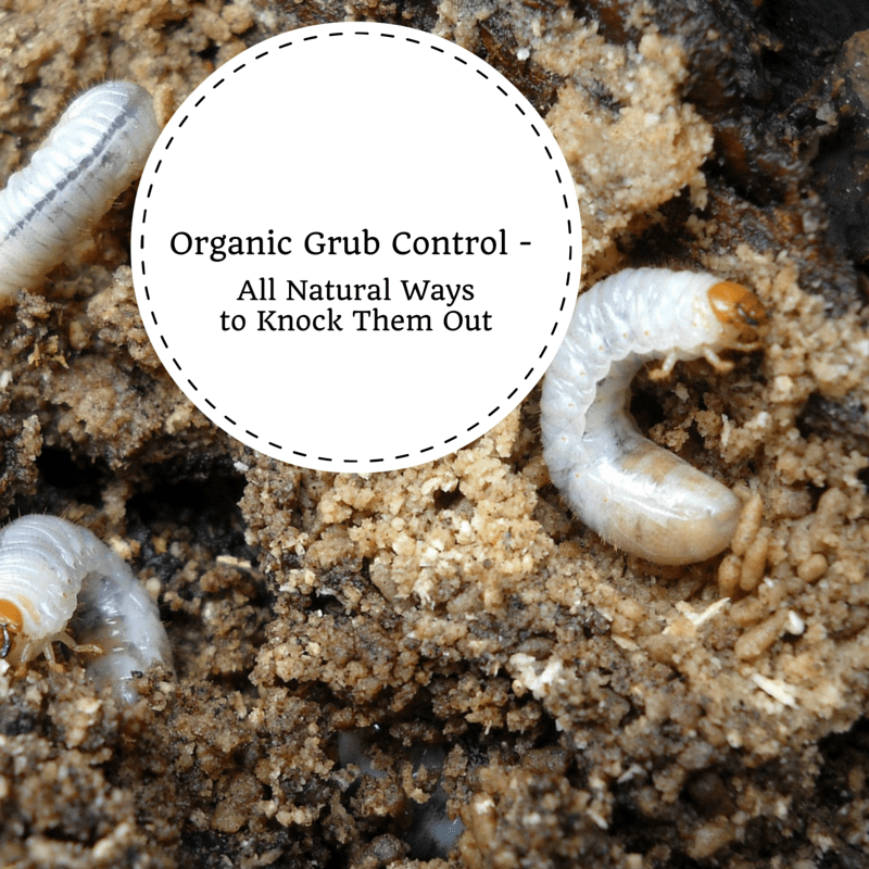Organic Grub Control All Natural Ways To Knock Them Out