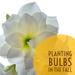 Planting Bulbs in the Fall – How to Properly Plant