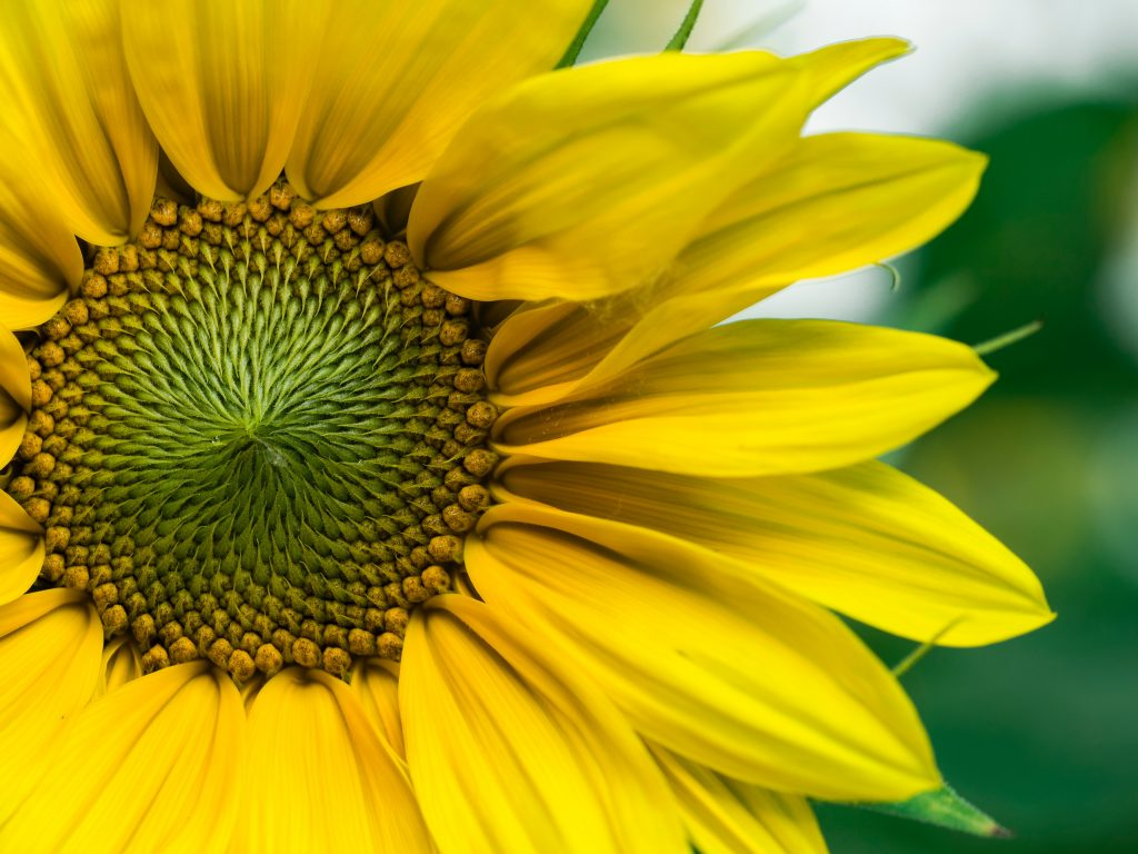 yellow_sunflower
