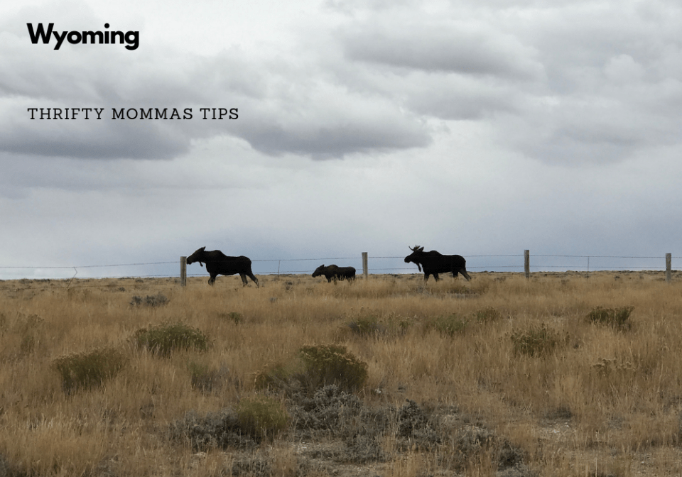 moose_family_wyoming