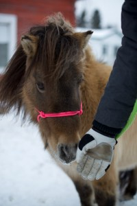 rope halter on mini horse