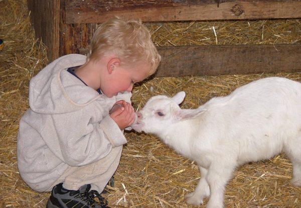 bottle-fed Goat