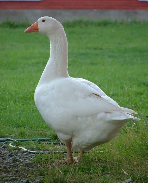 Danish Goose