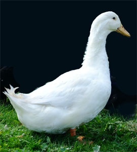 Adult Pekin duck
