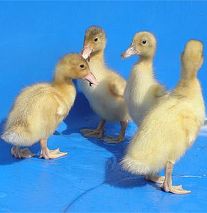 Welsh Harlequin ducklings