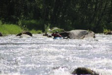 Nisqually River White Water Kayaking and Rafting (4)