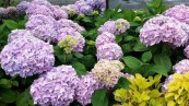 lots of Hydrangeas - the plant place