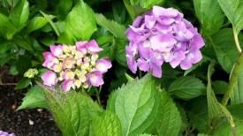 purple hydrangea the plant place