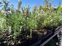 Olympia Farmers Market Herbs