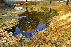 fall leaves Olympia wa