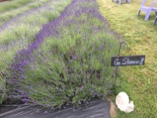 Evergreen Valley Lavender Farm 12
