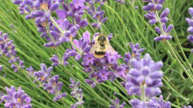 Evergreen Valley Lavender Farm 13