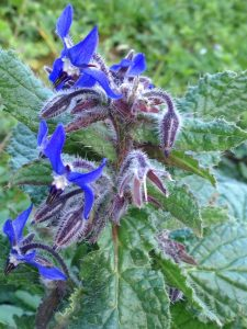 Borago officinalis southern France