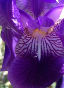 iris close up of flower
