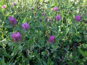 red clover flowers southern france