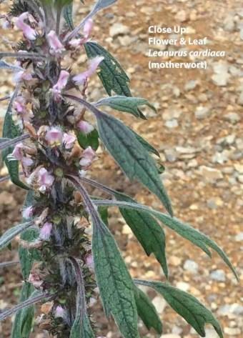 Leonurus cardiac motherwort flower and leaf
