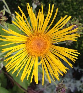 Golden Inula flowerhead