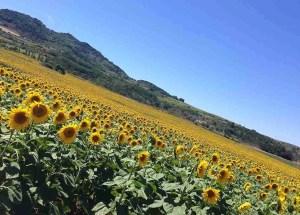sunflower Helianthus annuus languedoc