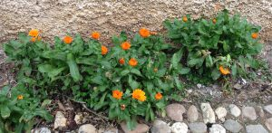 Calendula-officinalis-marigold
