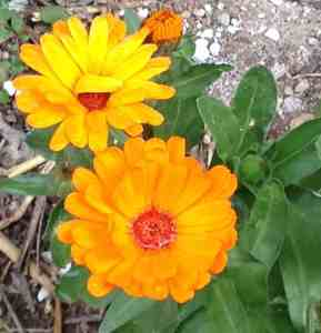 Calendula officinalis-Flower-Heads-marigolds