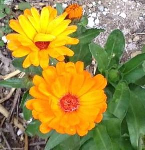 Calendula officinalis-Flower-Heads-marigolds