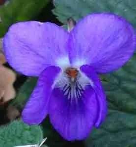 may Violets spring