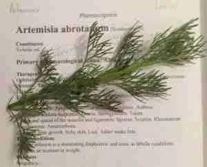 Artemisia medicinal herbs