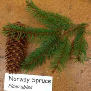 How do you tell the difference between spruce and fir trees