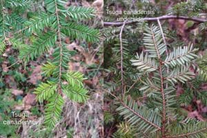how do you tell the difference between coniferous trees