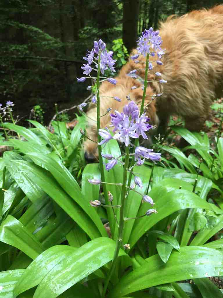 Pyrenean Squill and a Dog!