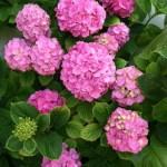 Favorite June Flowers:  Hydrangea