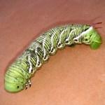 Garden Villain:  Tomato Hornworm