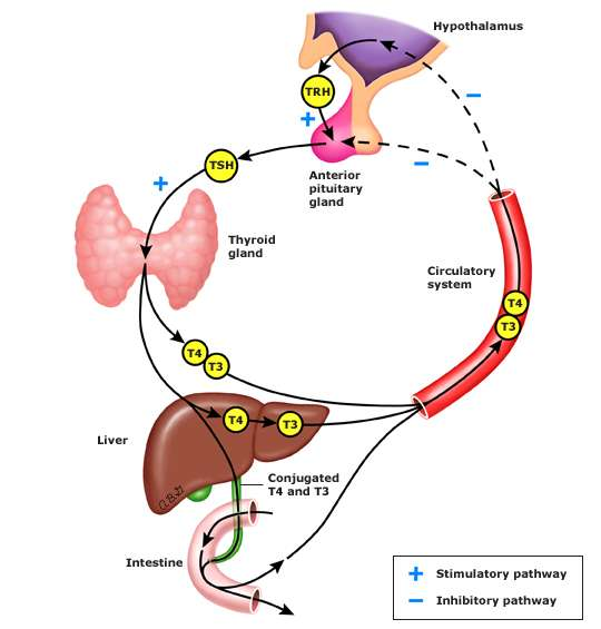The thyroid hormone cycle