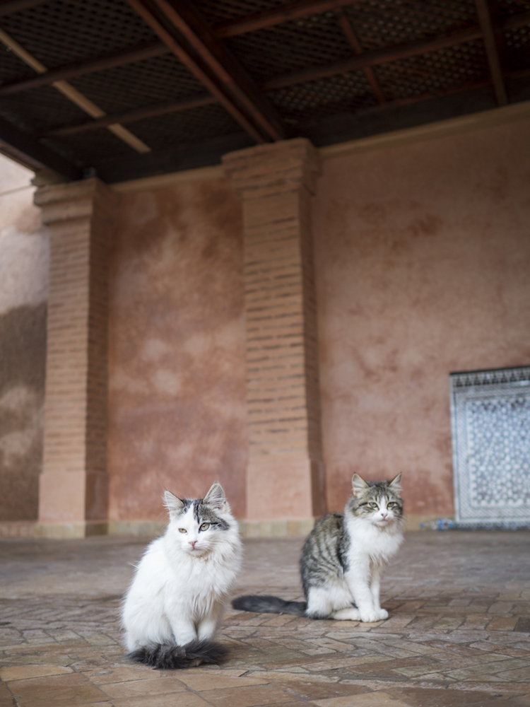 marrakech, morocco, cats