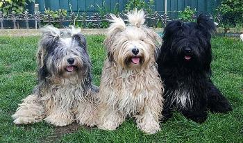 Tibet Terrier Hobbyzucht