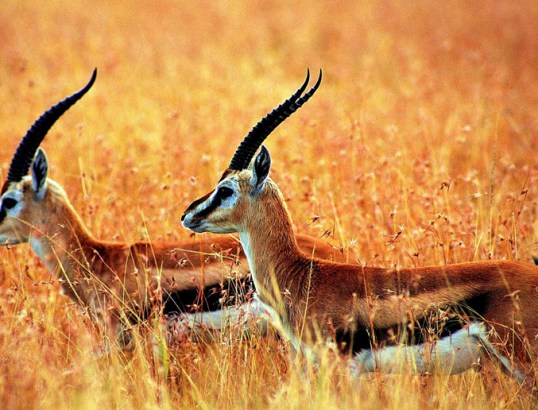 Tibetan Antelope - Image Copyright TibetDiscovery.Com