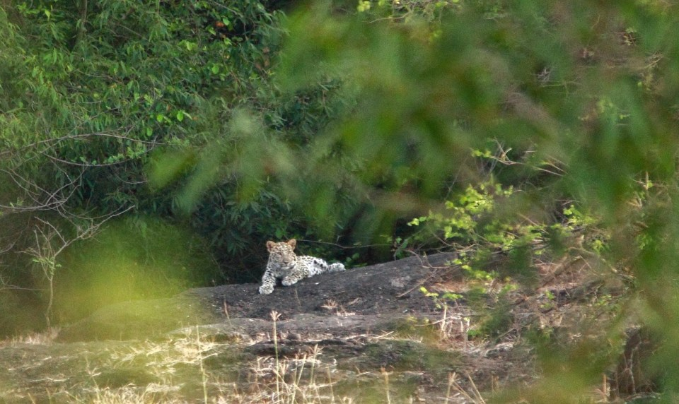 Gir Forest National Park: Leopard cub soaking in the Sun